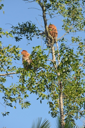 proboscis monkey at black river